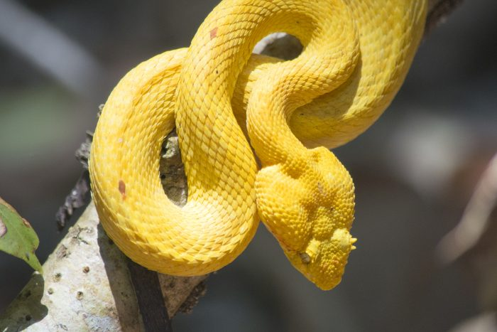 Snake Cost Rica Dana Dijkgraaf